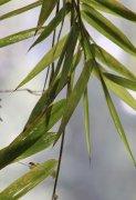 淡竹叶是什么 选择淡竹叶需牢记七大作用