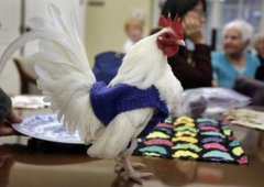 出乎意料!老人给鸡织毛衣保暖,下蛋数量也多了